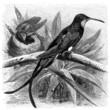 Bird : Colibri - Topazkolibri