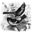 Bird : Cardinal - Kardinal