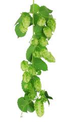 Fresh green hops, isolated on white