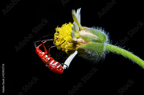Red insect on yellow flower with black background, thailand