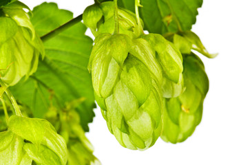 Branch of fresh green hop