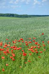 Созревающий урожай пшеницы
