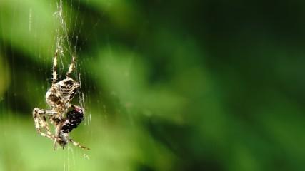 Spinne fißt eine Fliege
