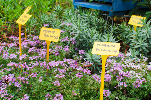 Verbena plants for sale in a local market