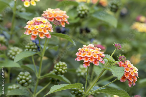 Lantana Flowers and Berries Plant