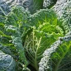 Wirsingkohl - Savoy cabbage 06