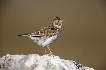 Skylark, Alauda arvensis, singing, Scotland, spring