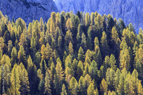 Larch tree woods