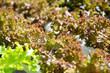 Hydroponics vegetable farm,Frillie Iceburg Lettuce