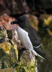 Black and white razorbill in arctic seashore