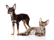 devon rex cat and toy-terrier puppy together. isolated