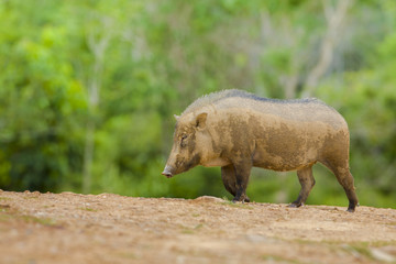 Boar on rural road with green background, thailand.