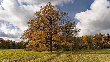 Autumn oak tree