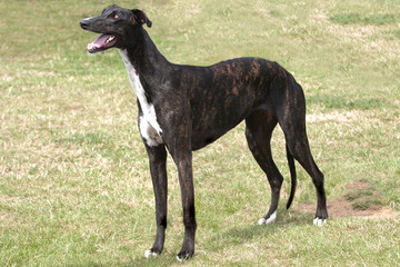 Dark brindle greyhound standing in rough grass