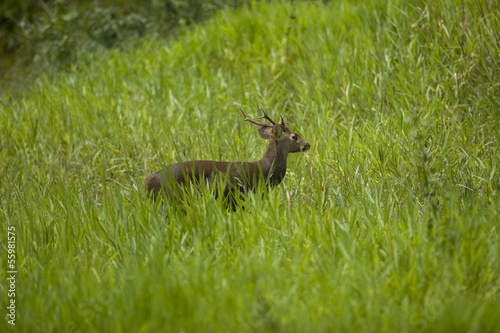 The deer in the green field, thailand