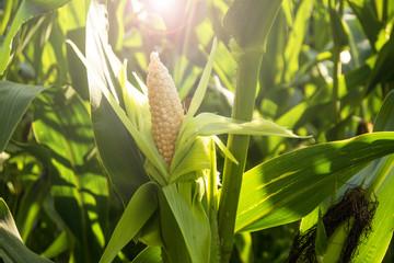 corn cob in the sun