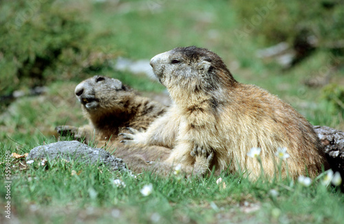 Marmots playing fight in french Alps