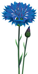 Flowers blue cornflower (Centaurea cyanus), vector