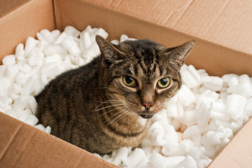 Annoyed cat in cardboard box of packing peanuts