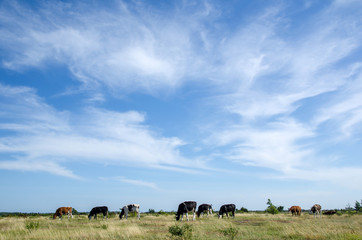Cattle in plain grassland