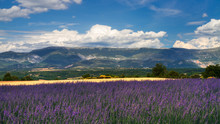 Wheat and Lavender fields