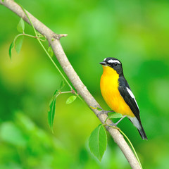 Yellow-rumped Flycatcher bird