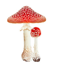 Red poison mushroom amanita, fly agaric isolated on white