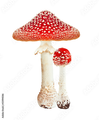 Red poison mushroom amanita, fly agaric isolated on white - 55994586
