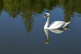 White swan at lake