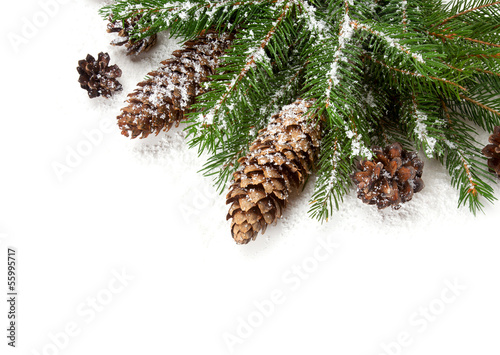 spruce and cones covered with snow