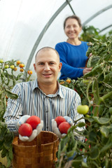 Man and woman picking tomato