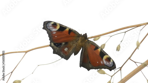 European Peacock butterfly on a branch and plapping wings