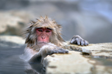 Relaxing Monkey in a natural onsen located in Snow Monkey