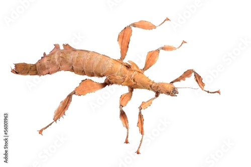 stick insect Extatosoma tiaratum isolated
