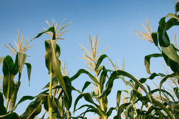 Field corn plants