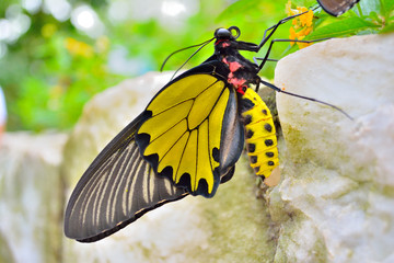 A Golden Birdwing butterfly (Troides aeacus) from the side