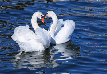 Lovely white swan couple mating in spring.