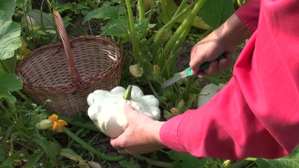 farmer picking fresh pattypan squashes vegetables in garden