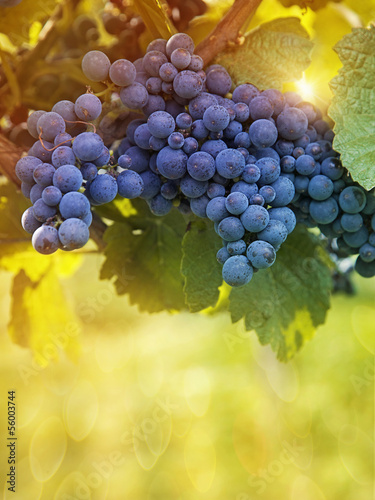 Papiers peints Vignoble Bunch of black grapes