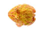 Ornate Horned Frog (white form) Ceratophrys ornata poster