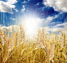 Herbst: Weizenfeld vor der Ernte