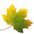 Herbst-Shönheit: Buntes Ahornblatt