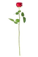 eine Rose freigestellt vor weiß