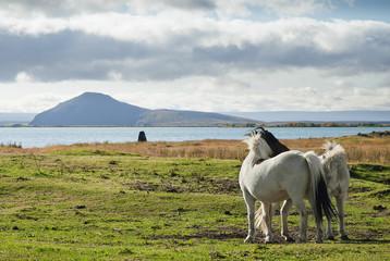 ponies in rural iceland landscape
