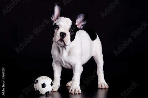 French bulldog puppy with  ball on  black background