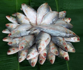 Pile of fresh Ilish fish of Southeast Asia