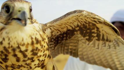 Portrait Trained Falcon Balanced Falconers Glove