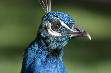Portrait of a male of Peacock