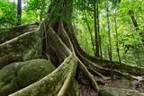 Large fig tree