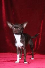 Chihuahua standing portrait